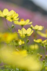 yellow cosmoses