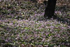 風に揺れるかたくりの花