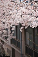 桜と学校と