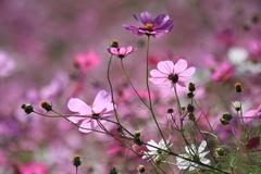 Purple・Pink
