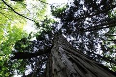 まっすぐな杉