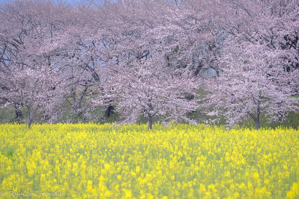 藤原宮跡の春 #1