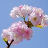 我が家の桜「楊貴妃」 #2