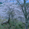 吉野の夜明け桜 #4
