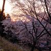 曽爾屏風岩の桜 #3