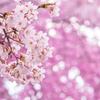光芒桜吹雪