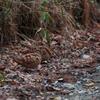 Protective Color~Eurasian Woodcock~