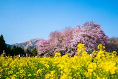 南阿蘇村 一心行の大桜