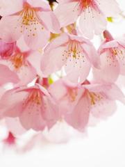 桜色のカーテン
