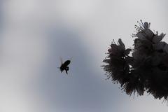 シルエット ミツバチ