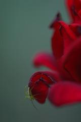 薔薇とスパイダー