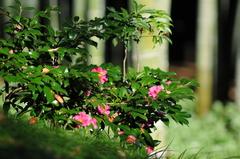 竹林を観る山茶花