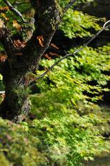 輪王寺の楓