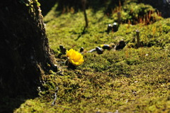 苔に映える福寿草