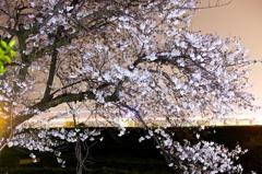 夜、桜はどう咲く?