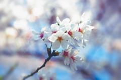 桜、望遠で