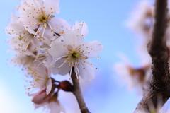 早咲きの桜の下