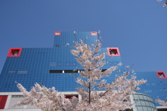 cherry blossom in the sky