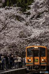 東北桜 2021 芦野公園