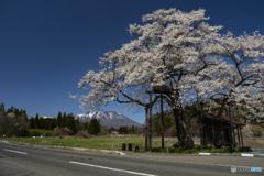 東北桜 2021 岩手山 ③