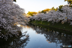 東北桜 2021 弘前公園 夜 ①