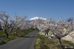 東北桜 2021 岩木山 ①