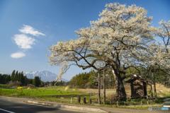 弘法桜と岩手山