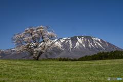 東北桜 2021 岩手山 ②