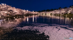 東北桜 2021 弘前公園 夜 ④