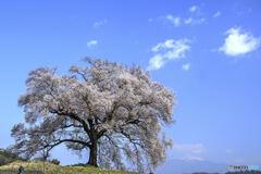 わに塚の桜から南ア連峰を望む