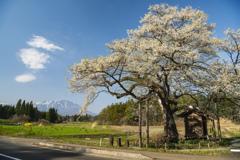 東北 弘法桜