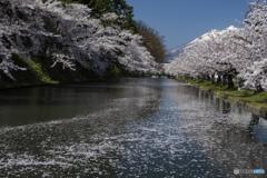 東北桜 2021 弘前公園 昼 ⑥