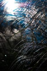 青空と太陽とすすき