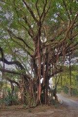 神の島の精霊の木