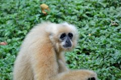 Northern White-cheeked Crested Gibbon