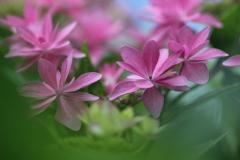 今日も紫陽花!