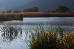 西の湖と葦