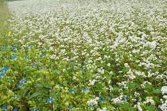 つゆ草と蕎麦の花