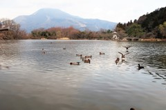 三島池の鴨たち