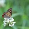 雨上がりのシジミ蝶