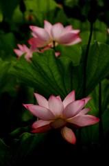 早起きの花