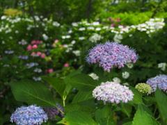賑わう紫陽花園