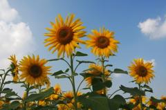 向日葵に囲まれて
