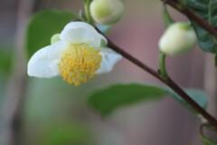 お茶の花です