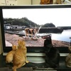 BS世界ネコ歩きを真面目に見る猫w