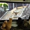 BS世界ネコ歩きを真剣に見る猫www
