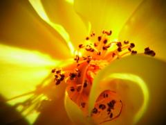 『秋バラ 黄色系』