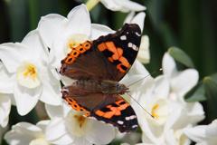 蝶と水仙 ②