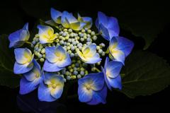 高原の紫陽花 ➂