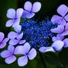 山の紫陽花